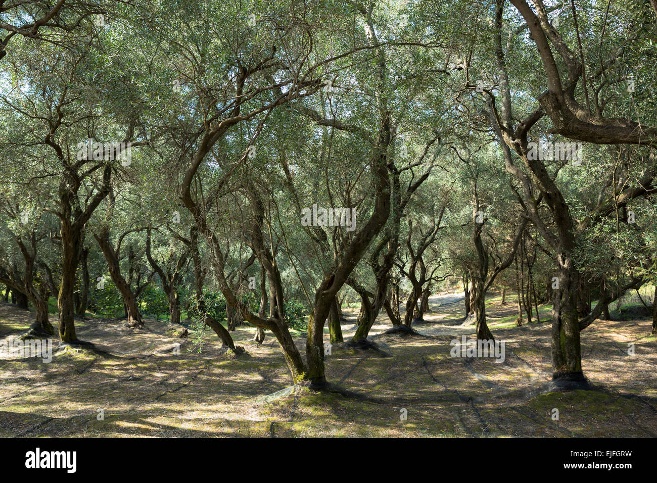 Plastic mesh meshing laid out for harvest of olives trees, Olea europaea in olive grove for olive oil production, Stock Photo