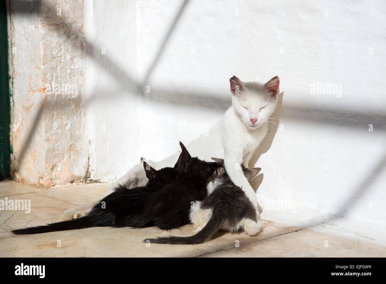 Stray Feral Mother White Cat Felis Catus Nursing Her Cute Black Stock Photo Alamy