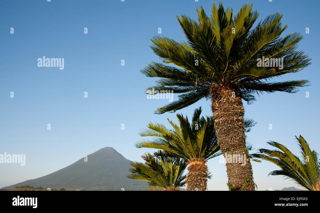 Sago Palms (Cycads) below Mt. Kaimondake, Volcano, Satsuma Peninsula, Kyushu Island, Japan - Stock Image