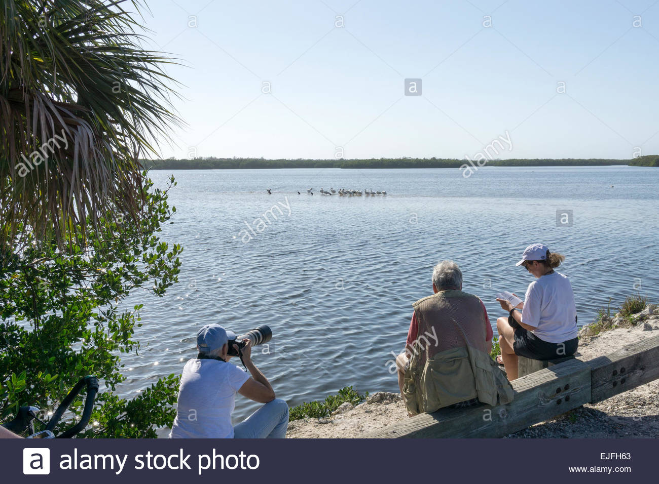 Visitors observe and photograph cormorants and white pelicans at Ding Darling wildlife refuge in March on Sanibel - Stock Image