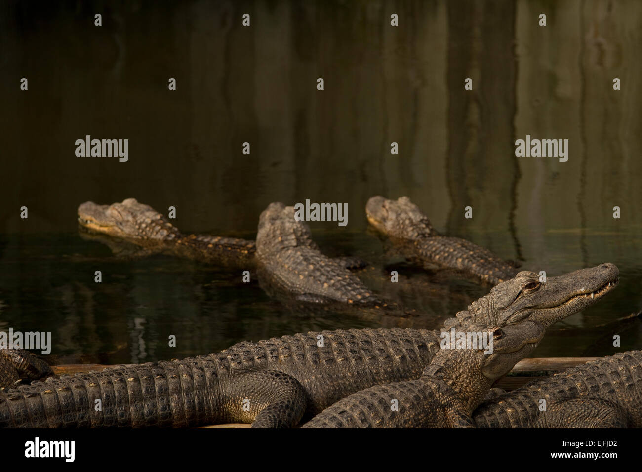 Several American Alligators at Florida gator farm - Stock Image