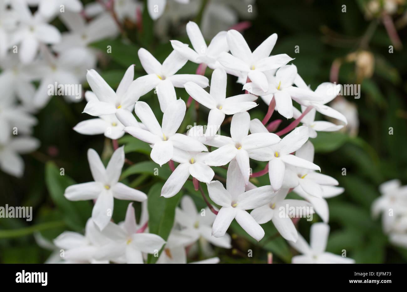 Lovely Star Jasmine blooming in spring - Stock Image