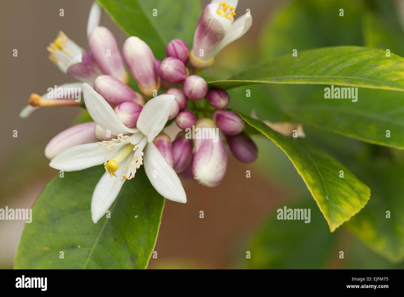 Lemon Tree Flowers Blooming In Spring Stock Photo 80250441 Alamy