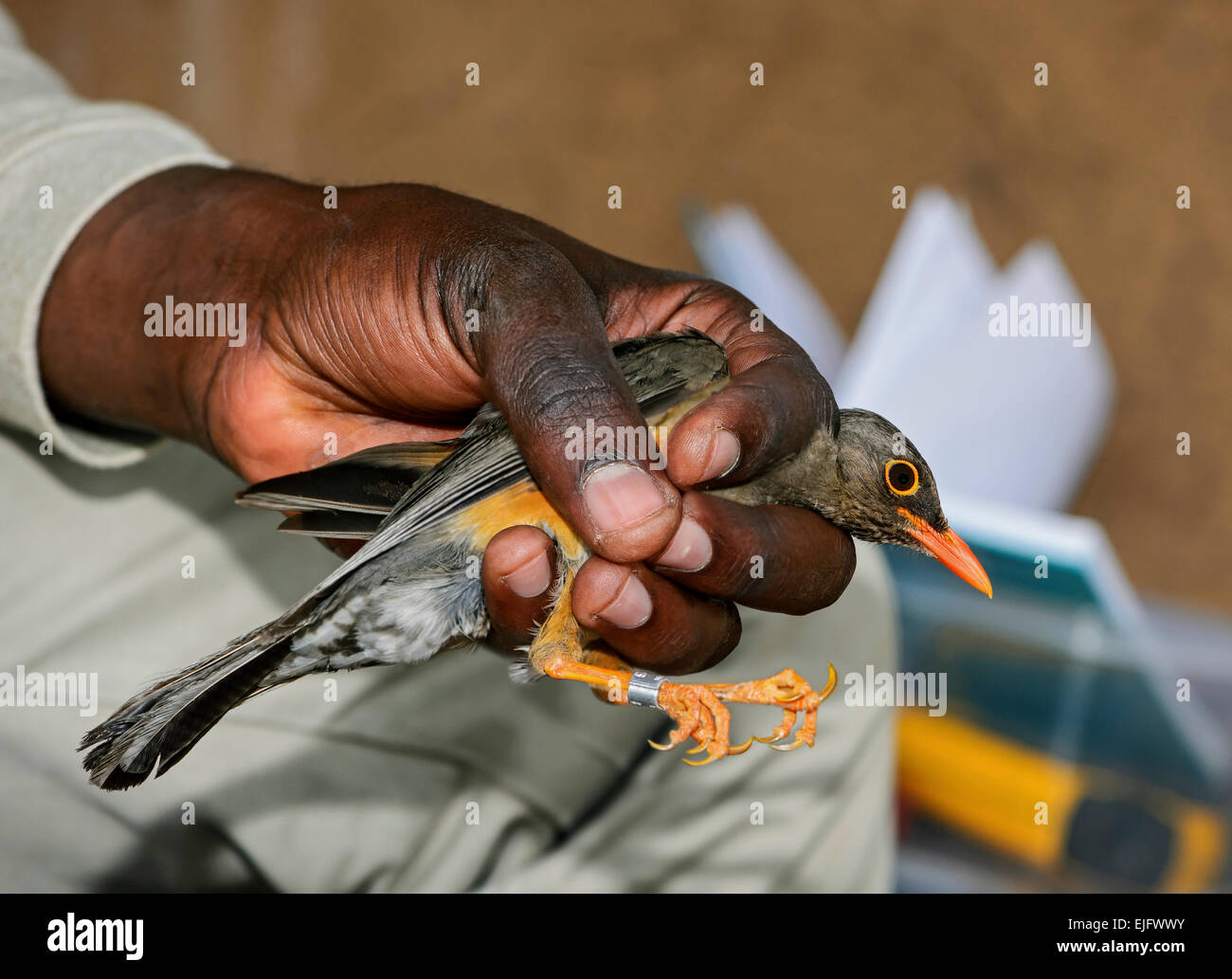 Abyssinian Thrush (Turdus olivaceus abyssinicus) is ringed by an ornithologist, Harenna Forest, Bale Mountains, Stock Photo