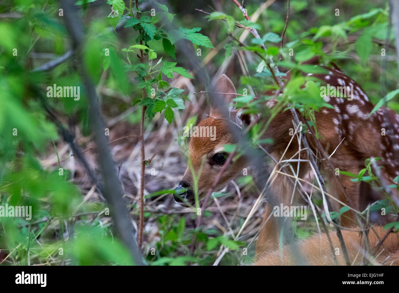 White-tailed doe with newborn fawns - Stock Image