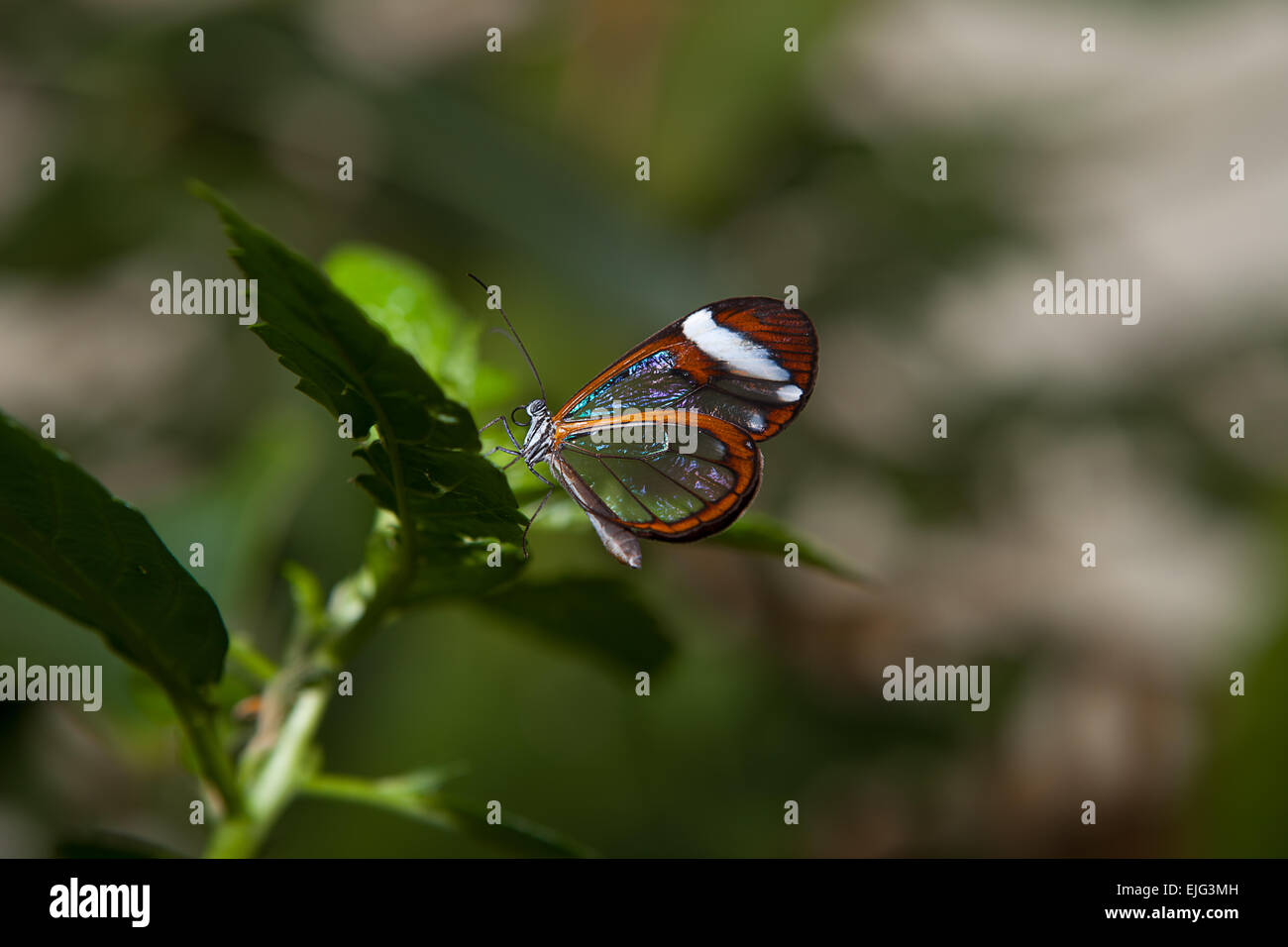 Glasswing, Greta oto, brush-footed butterfly on green vegetation - Stock Image