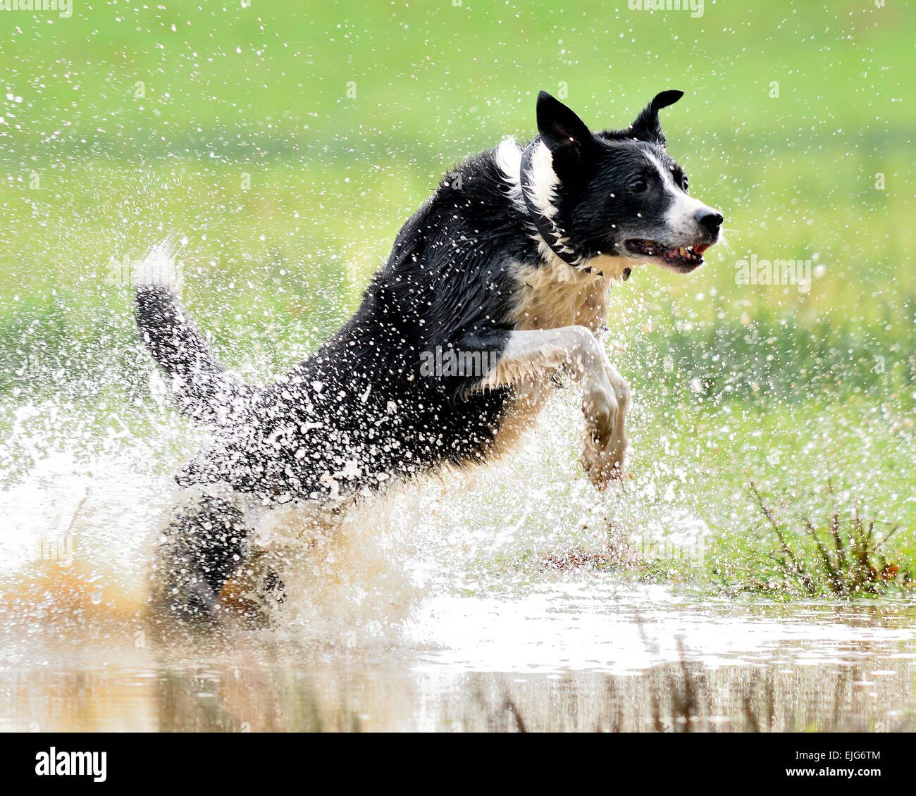 Border Collie Dog running for a stick. Stock Photo