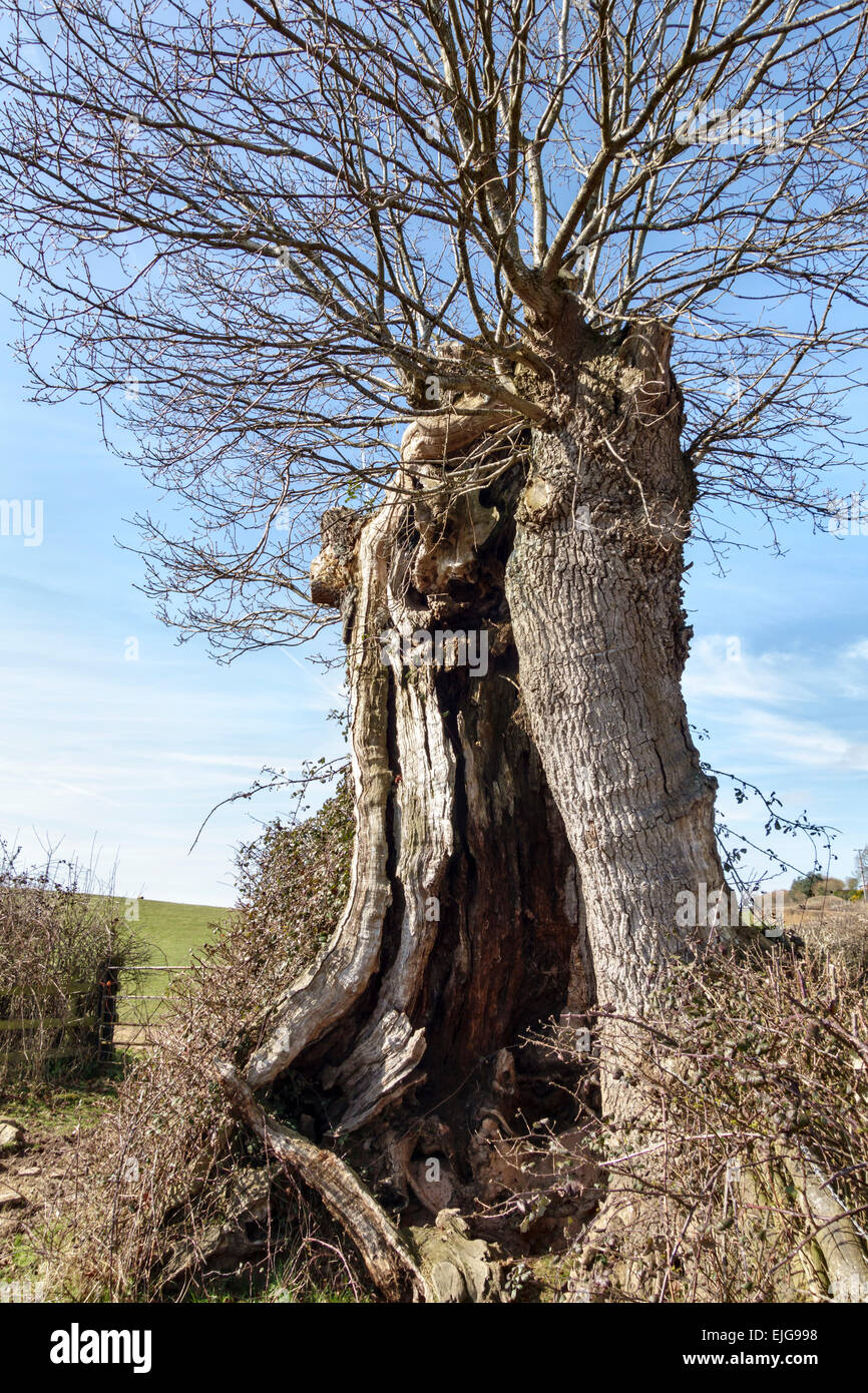 Clifford, Herefordshire, near Hay-on-Wye, UK. An ancient hollow pollard oak tree - Stock Image
