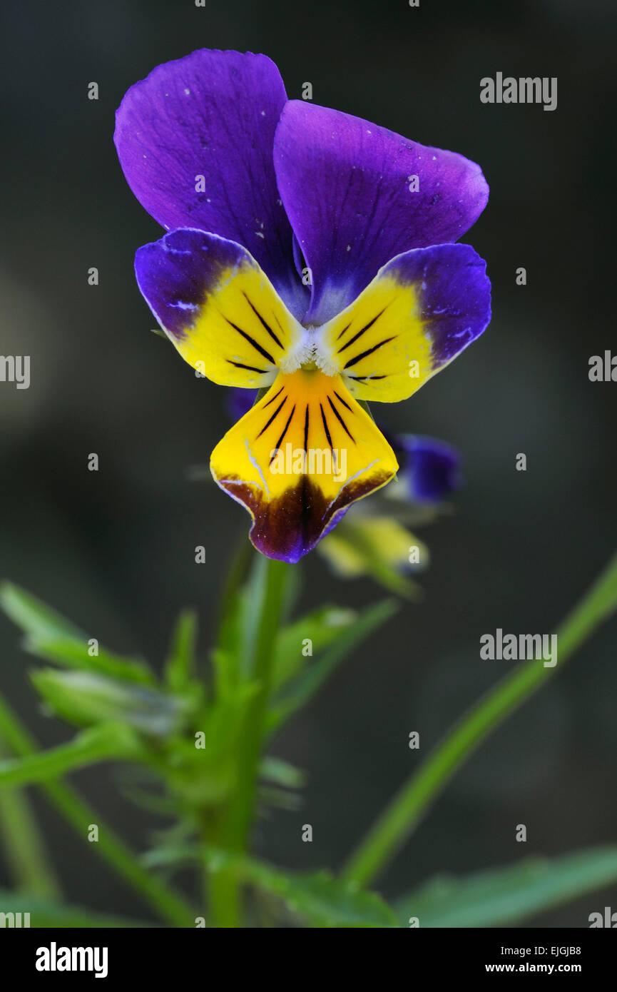 Wild pansy / heartsease / heart's ease / heart's delight / tickle-my-fancy (Viola tricolor) in flower - Stock Image