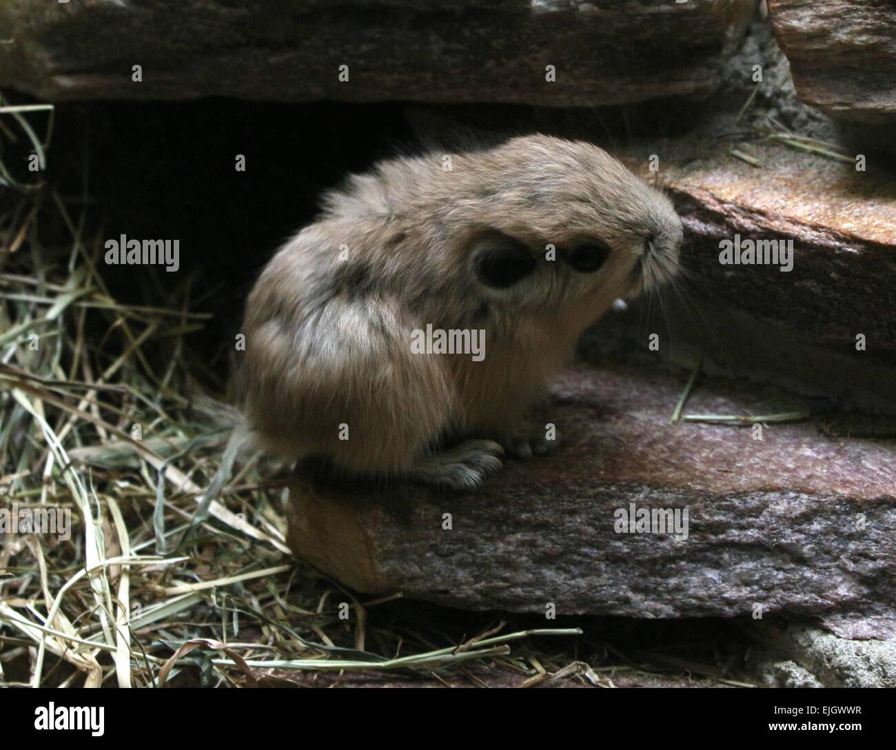 Very small juvenile North African Common Gundi (Ctenodactylus gundi) - Stock Image