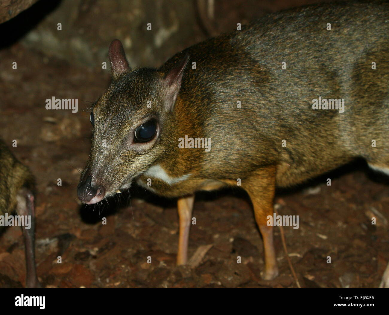Cleared southeast asian deer ungulate be. sorry