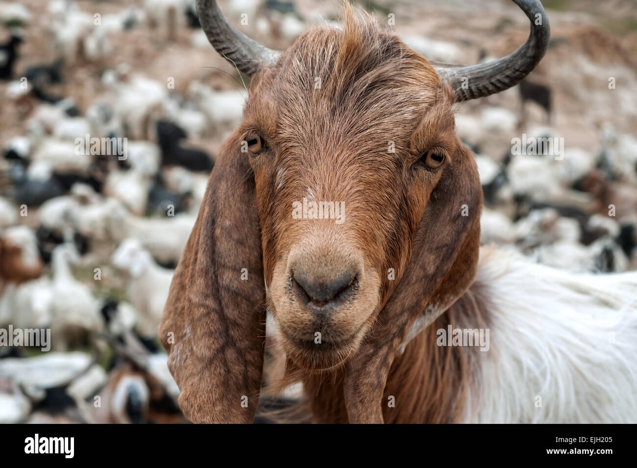 bearded goat portrait close up - Stock Image