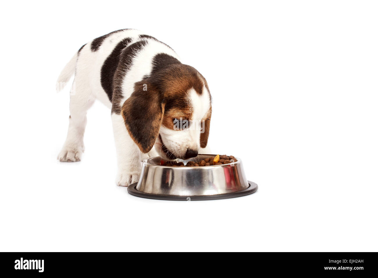 Beagle Puppy Dog That Eating On A White Background Stock Photo Alamy