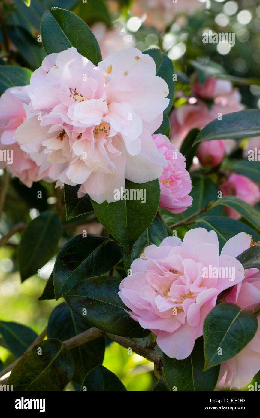 Informal double pink flowers of Camellia japonica 'Dainty Dale' - Stock Image