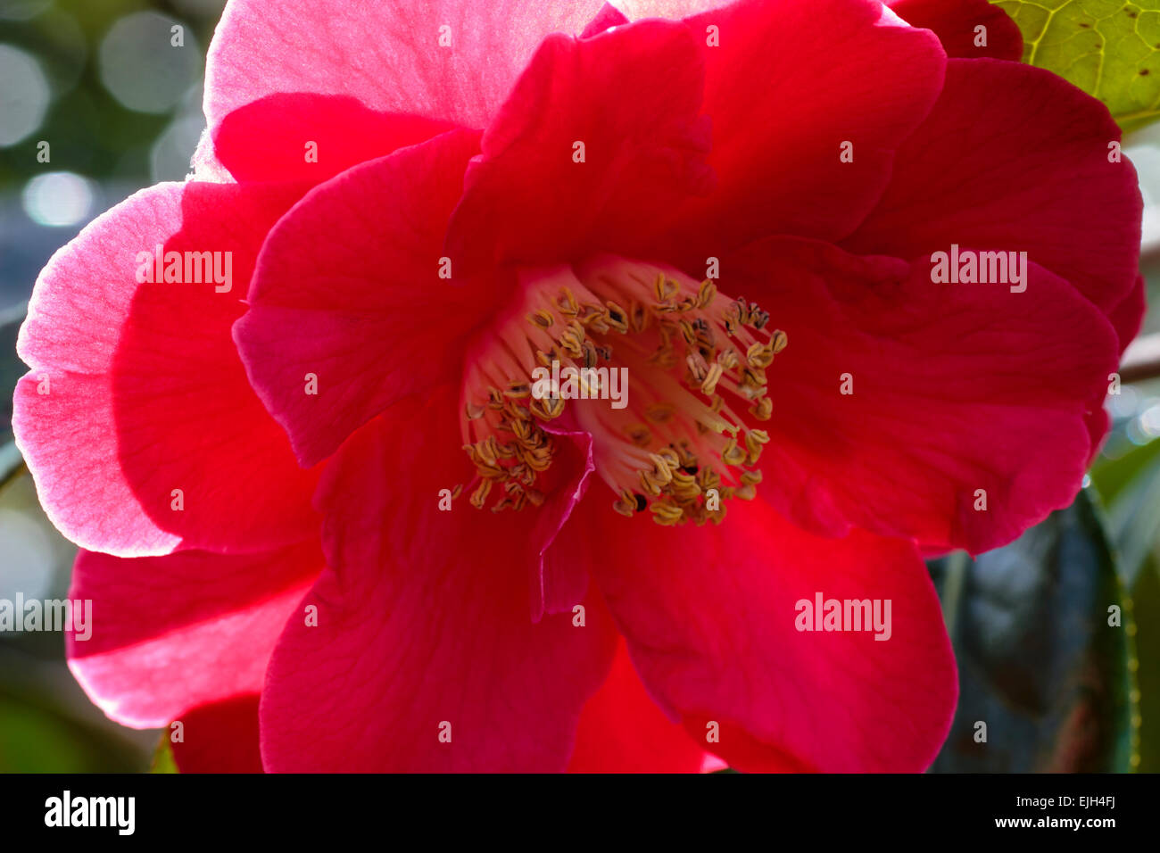 Close up of a single flower of Camellia reticulata 'Royalty' Stock Photo