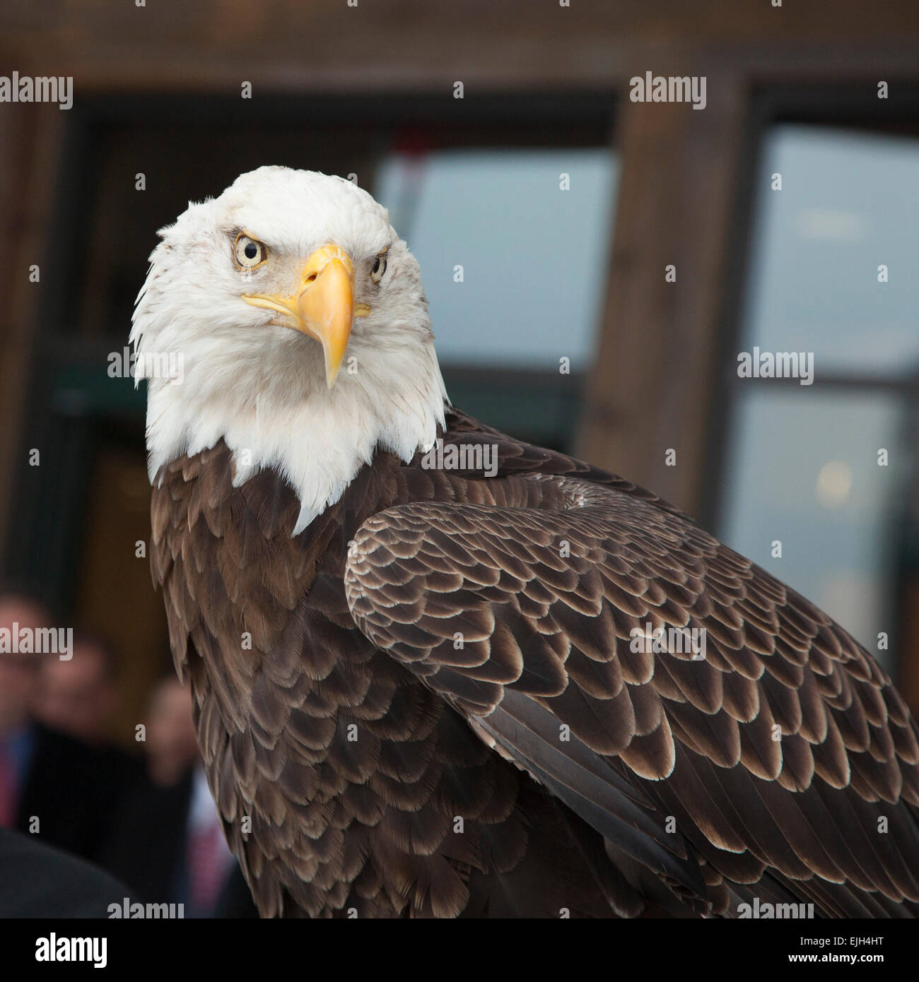 Troy, Michigan - A 25-year-old bald eagle named Challenger from the American Eagle Foundation. - Stock Image