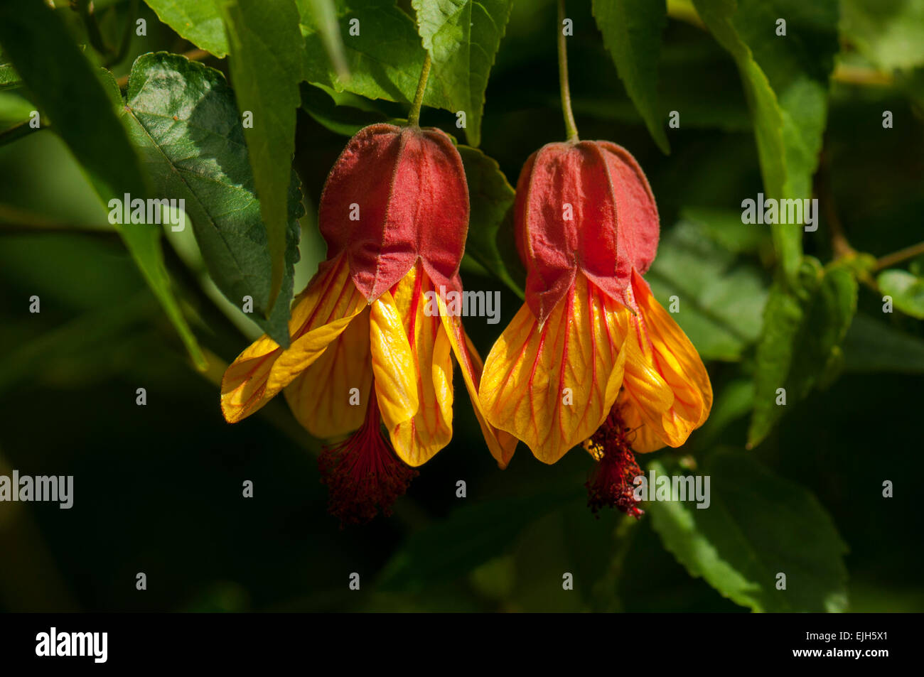 Abutilon megapotamicum, Chinese Lantern Sunset - Stock Image