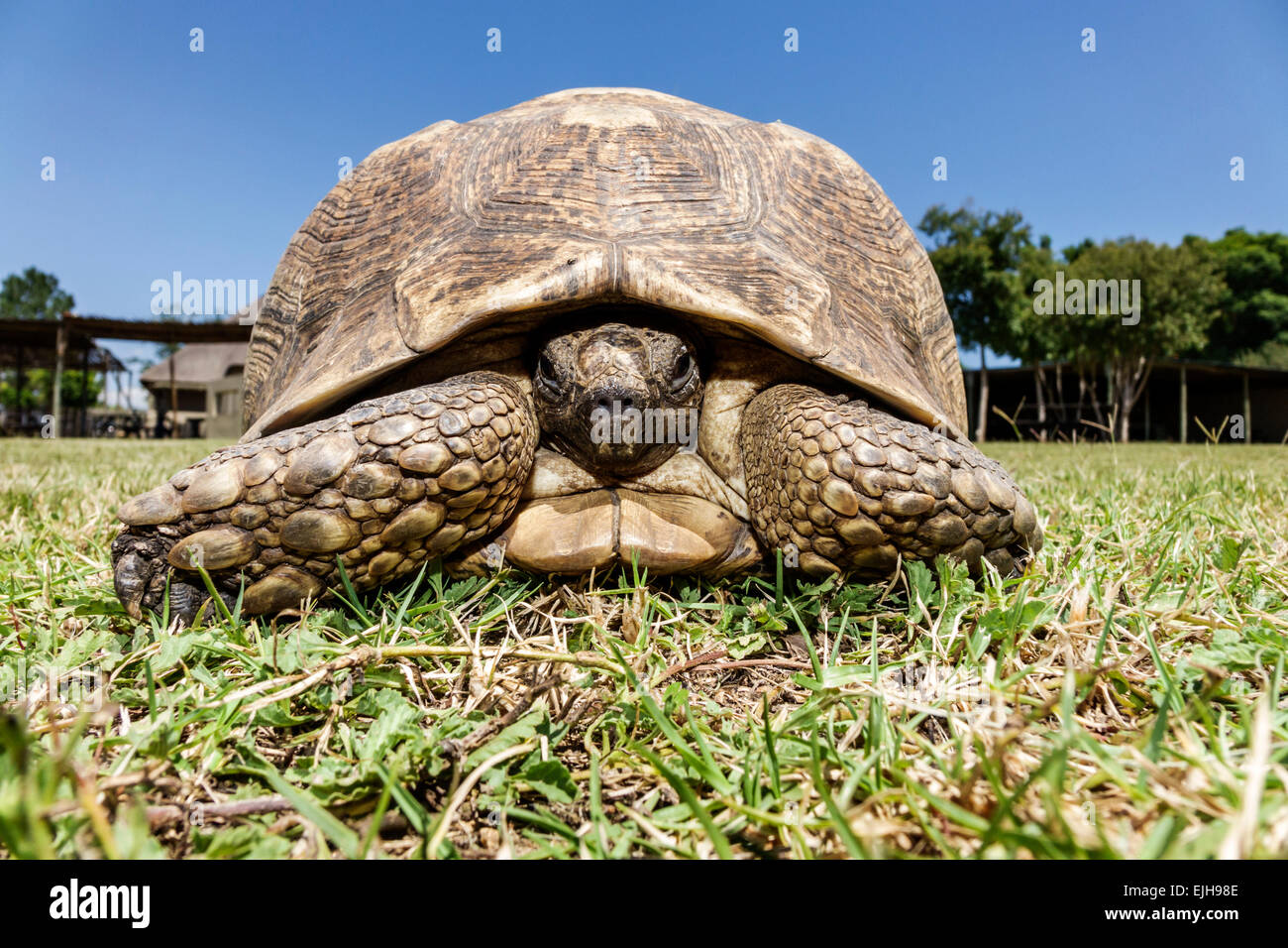 Johannesburg South Africa African Croc City Crocodile & and Reptile Park farm spurred tortoise Centrochelys - Stock Image