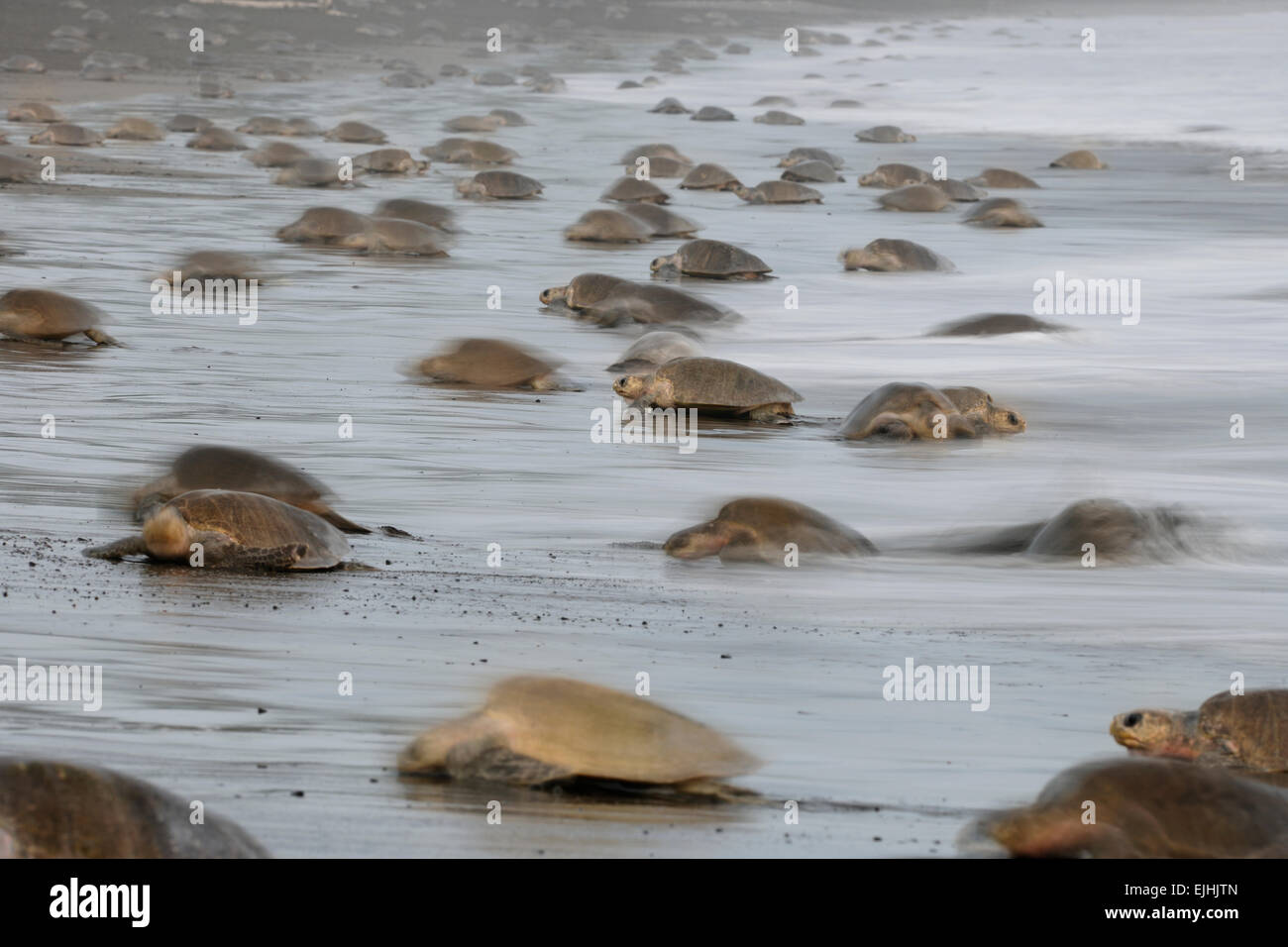The arrival of one olive ridley sea turtle (Lepidochelys olivacea) at the beach of Ostional, Costa Rica, Pacific - Stock Image