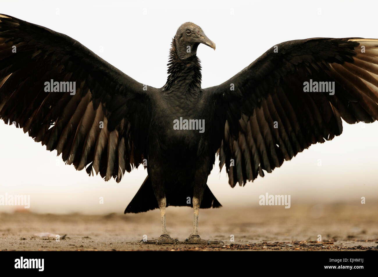 Black vulture (Coragyps atratus) waiting for olive ridley sea turtle (Lepidochelys olivacea) hatchlings to emerge - Stock Image
