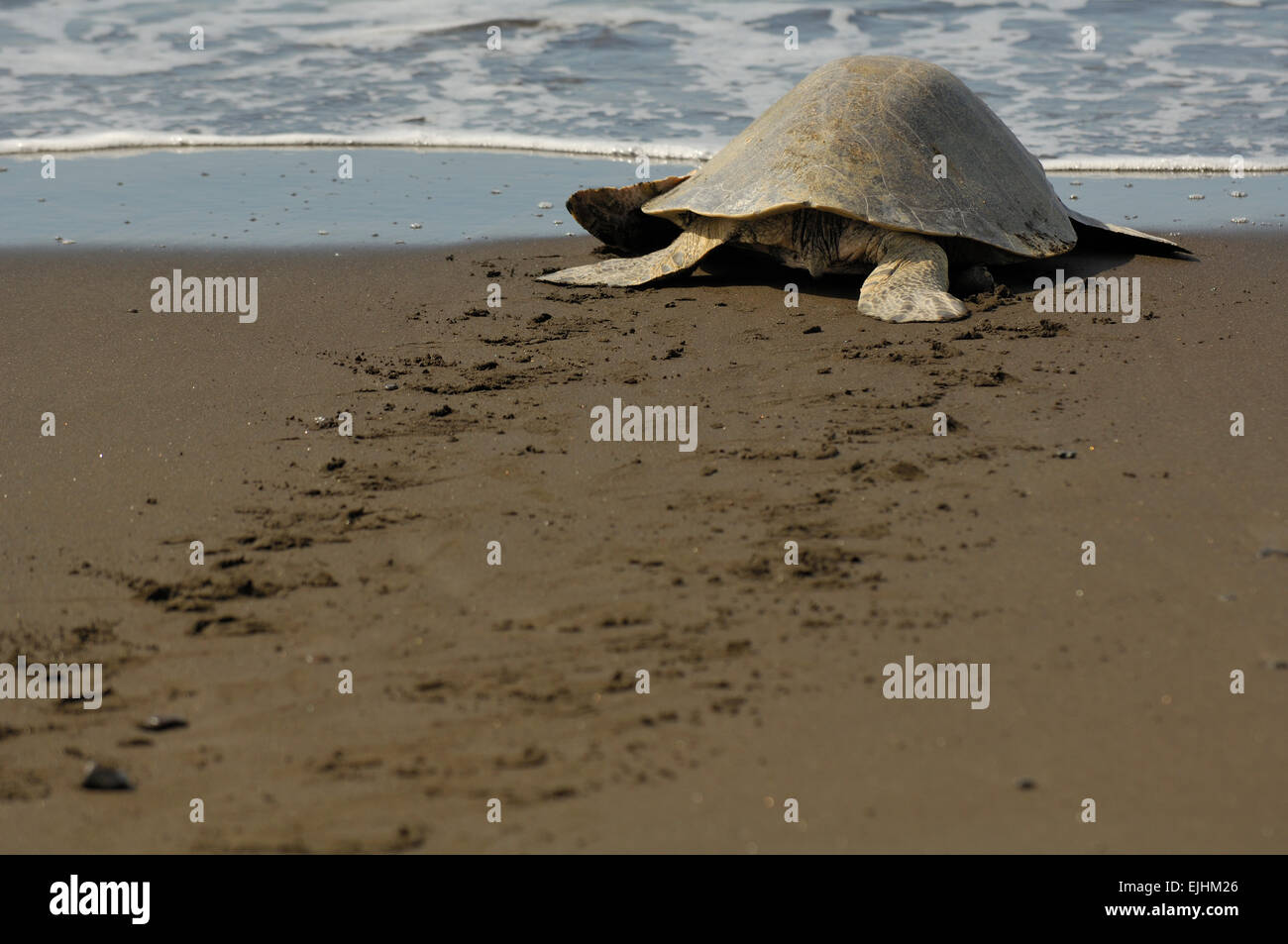 The olive ridley sea turtles (Lepidochelys olivacea)  are famous for their behaviour to nest also during the day. - Stock Image