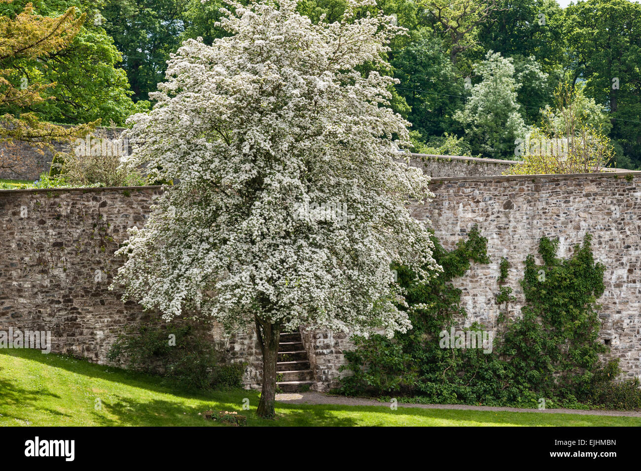Aberglasney House and Gardens, Carmarthen, Wales, UK. A spectacular hawthorn tree in flower outside the Lower Walled - Stock Image