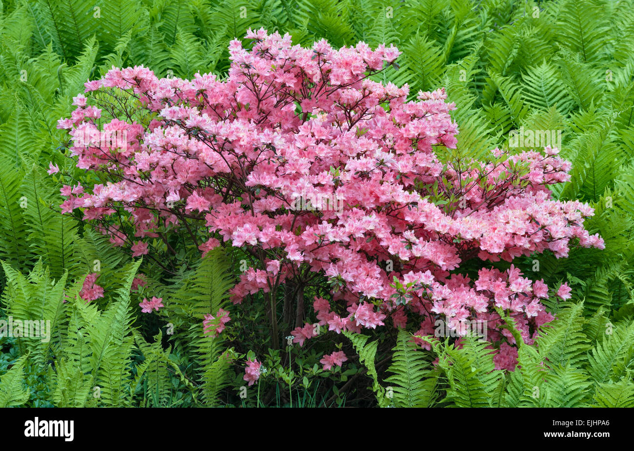 The National Botanic Garden of Wales, Llanarthney, Wales, UK. A pink azalea growing among ferns (bracken) in springtime - Stock Image