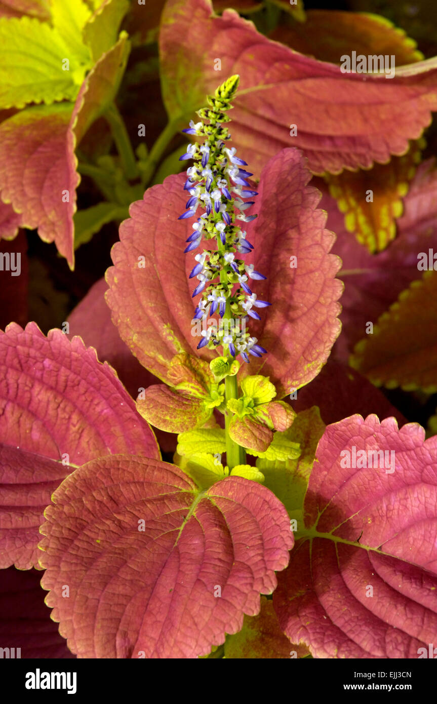Coleus, reddish salmon colored, leaves and violet colored flowers on ...