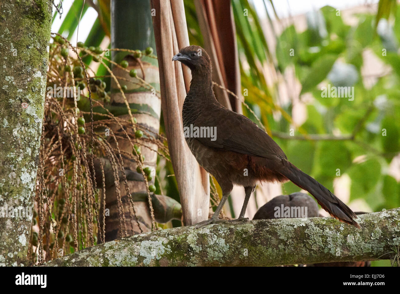Speckled chachalaca perched on a palm tree - Stock Image