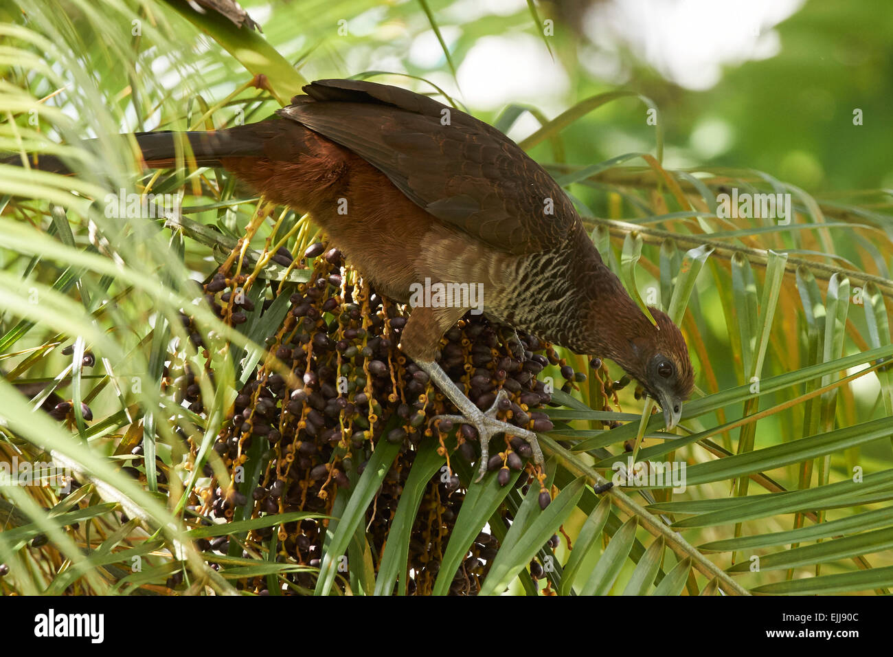 Speckled chachalaca feeding on palm tree berries - Stock Image