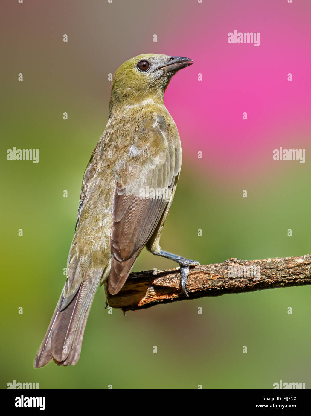 Palm Tanager (Thraupis palmarum) perched, Georgetown, Guyana. - Stock Image