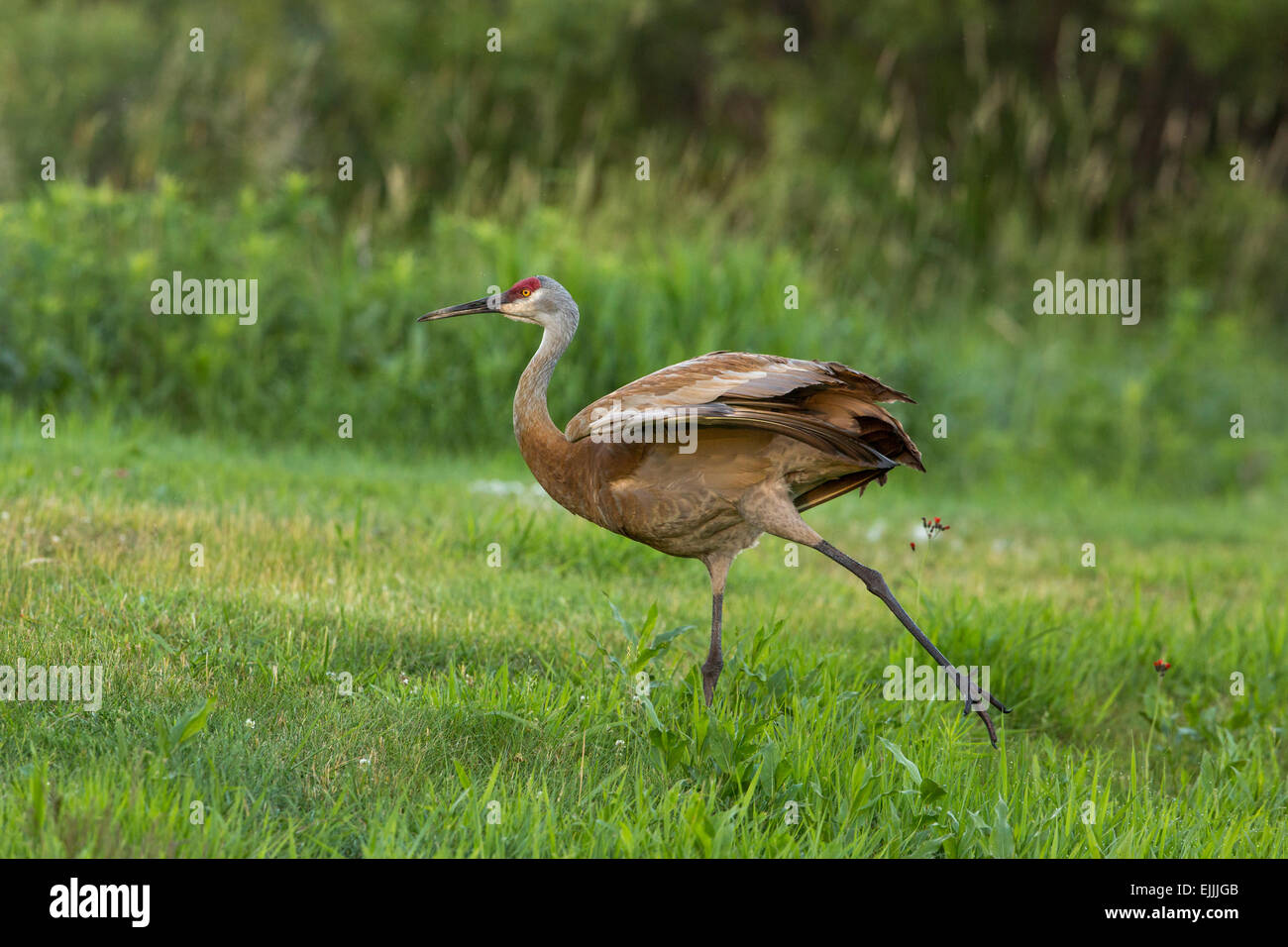 Sandhill crane preparing to fly - Stock Image