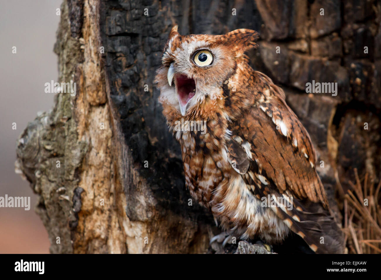 A screech owl perched in a burned out tree while calling. - Stock Image
