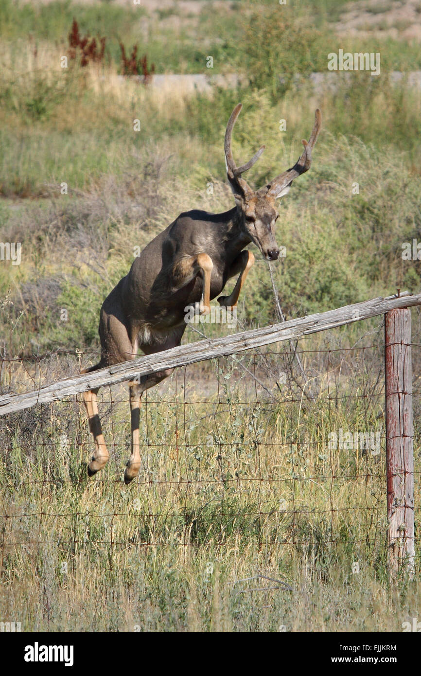 young mule deer buck jumping over a fence - Stock Image