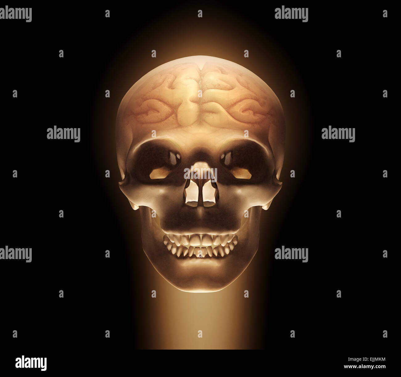 Human skull and brain, computer illustration. - Stock Image