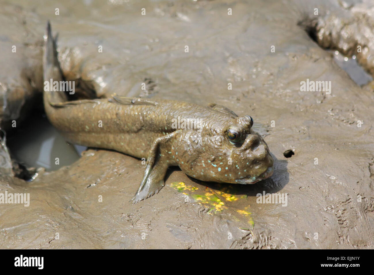 Mudskipper relaxing on the ground - Stock Image