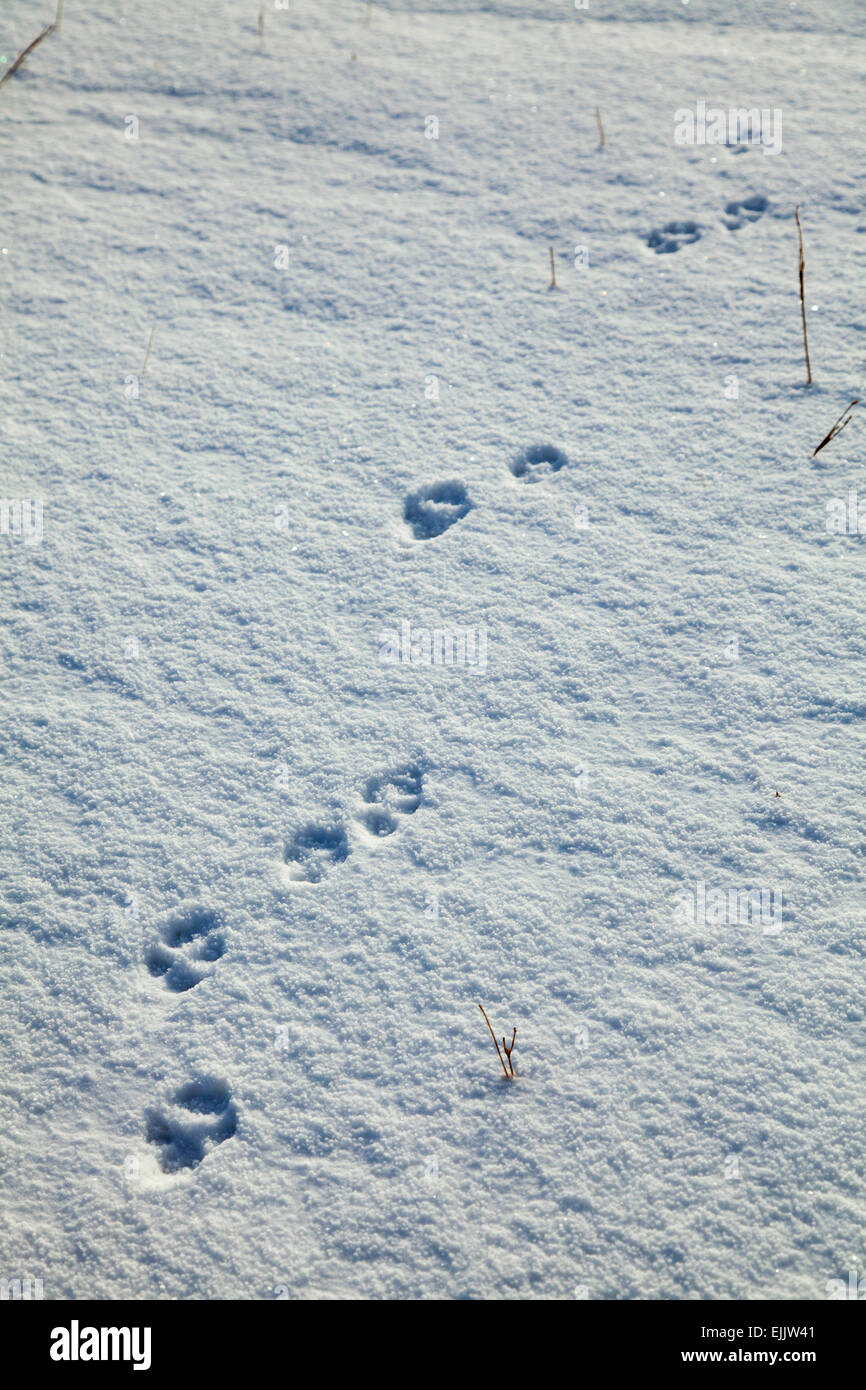 Fox footprints in the snow, Brandon Mountain, Dingle Peninsula, County Kerry, Ireland. - Stock Image