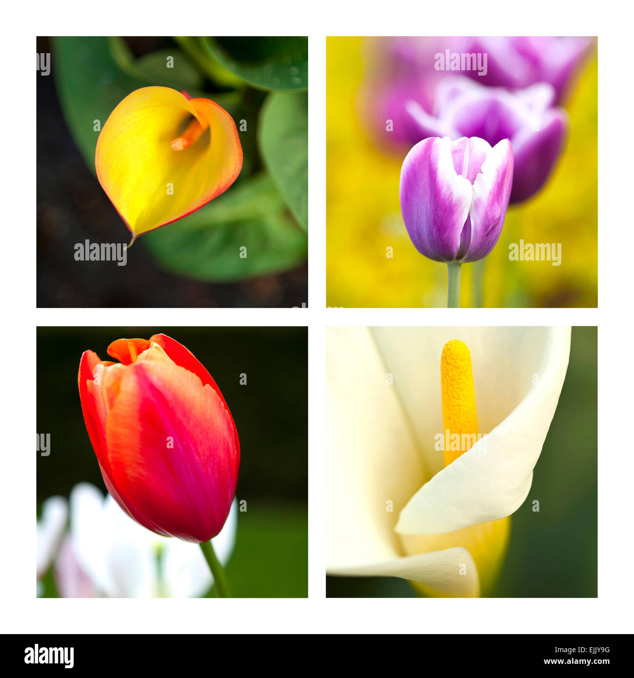 Collage of tulips and arums - Stock Image