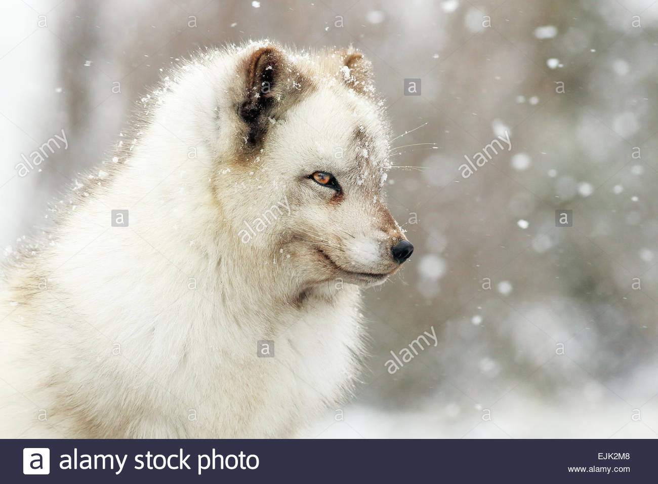 Portrait of an Artcic Fox during heavy snow fall. - Stock Image