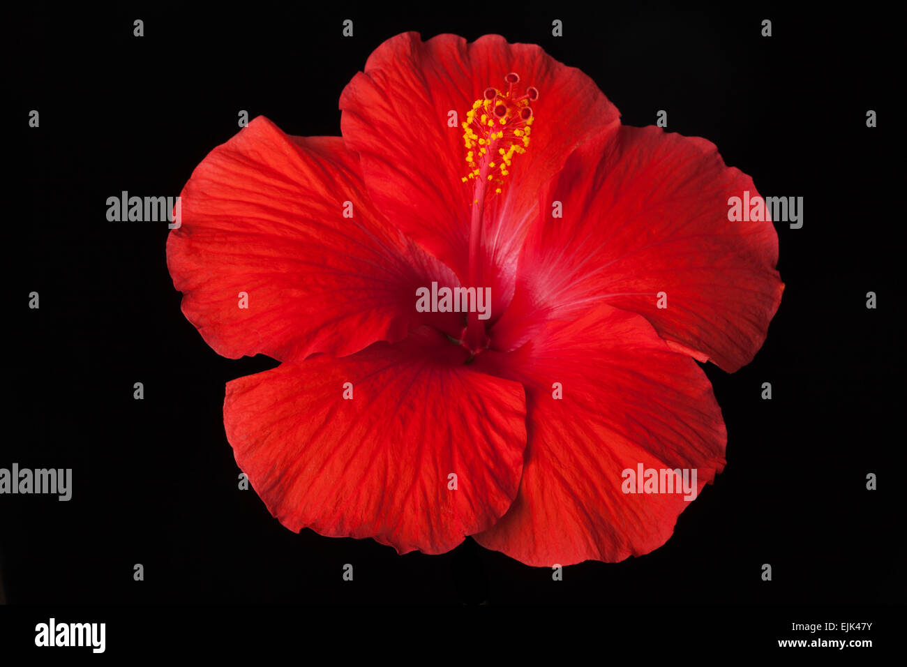 Tropical red hibiscus flower on black background stock photo tropical red hibiscus flower on black background izmirmasajfo
