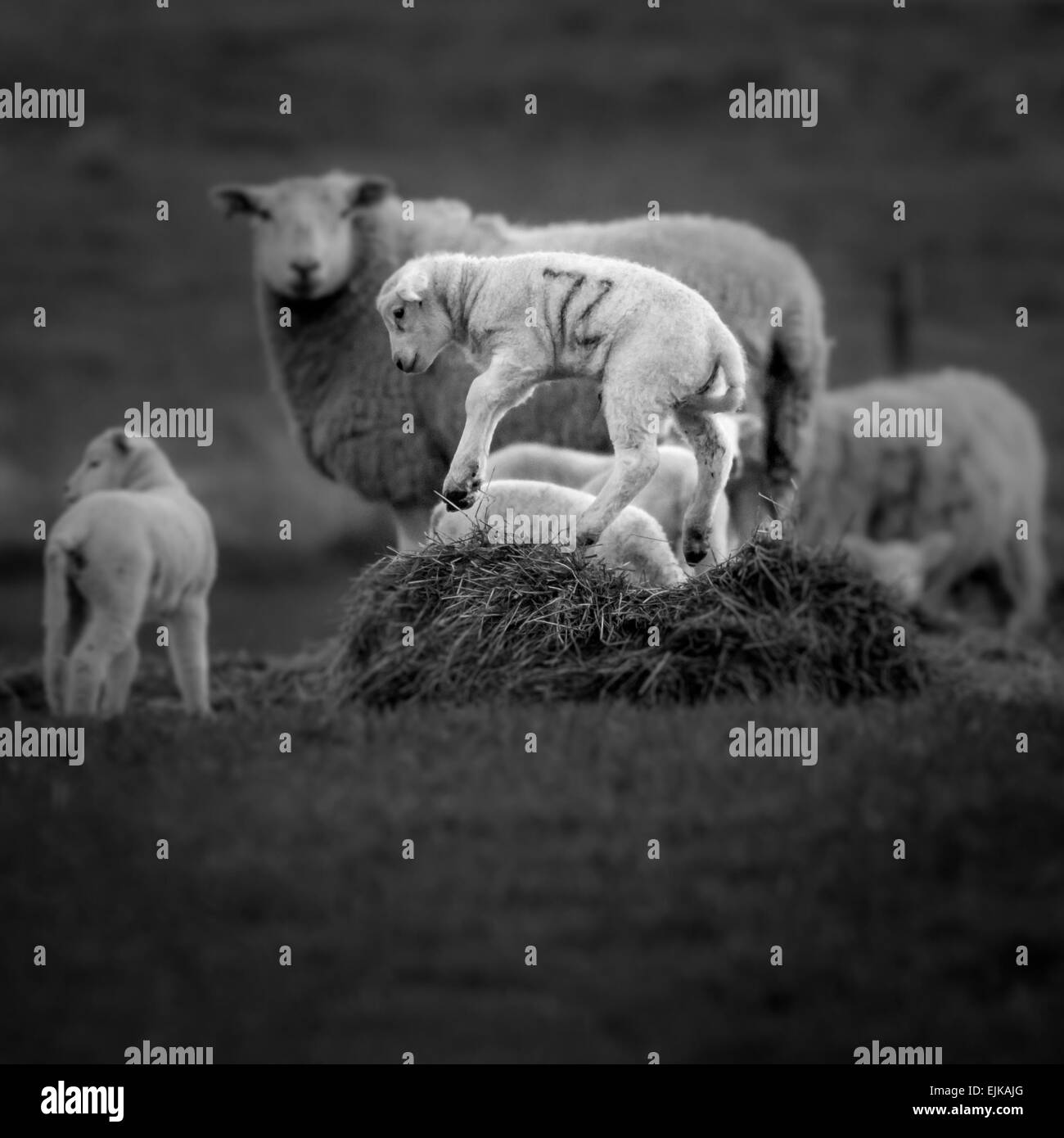 The joys of spring - jumping lambs - Stock Image