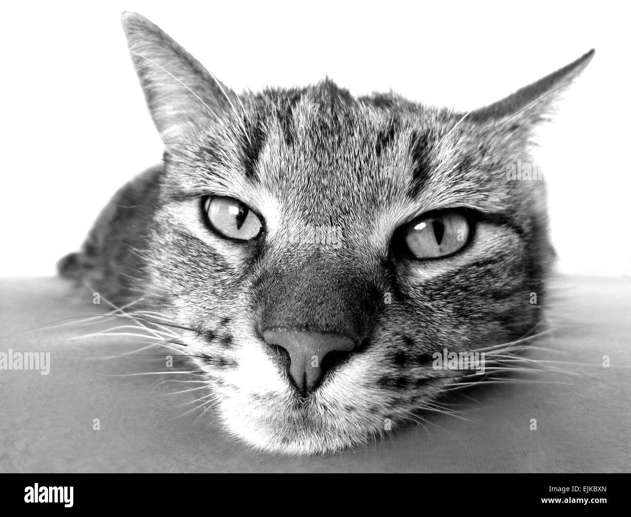 Cat black and white - Stock Image
