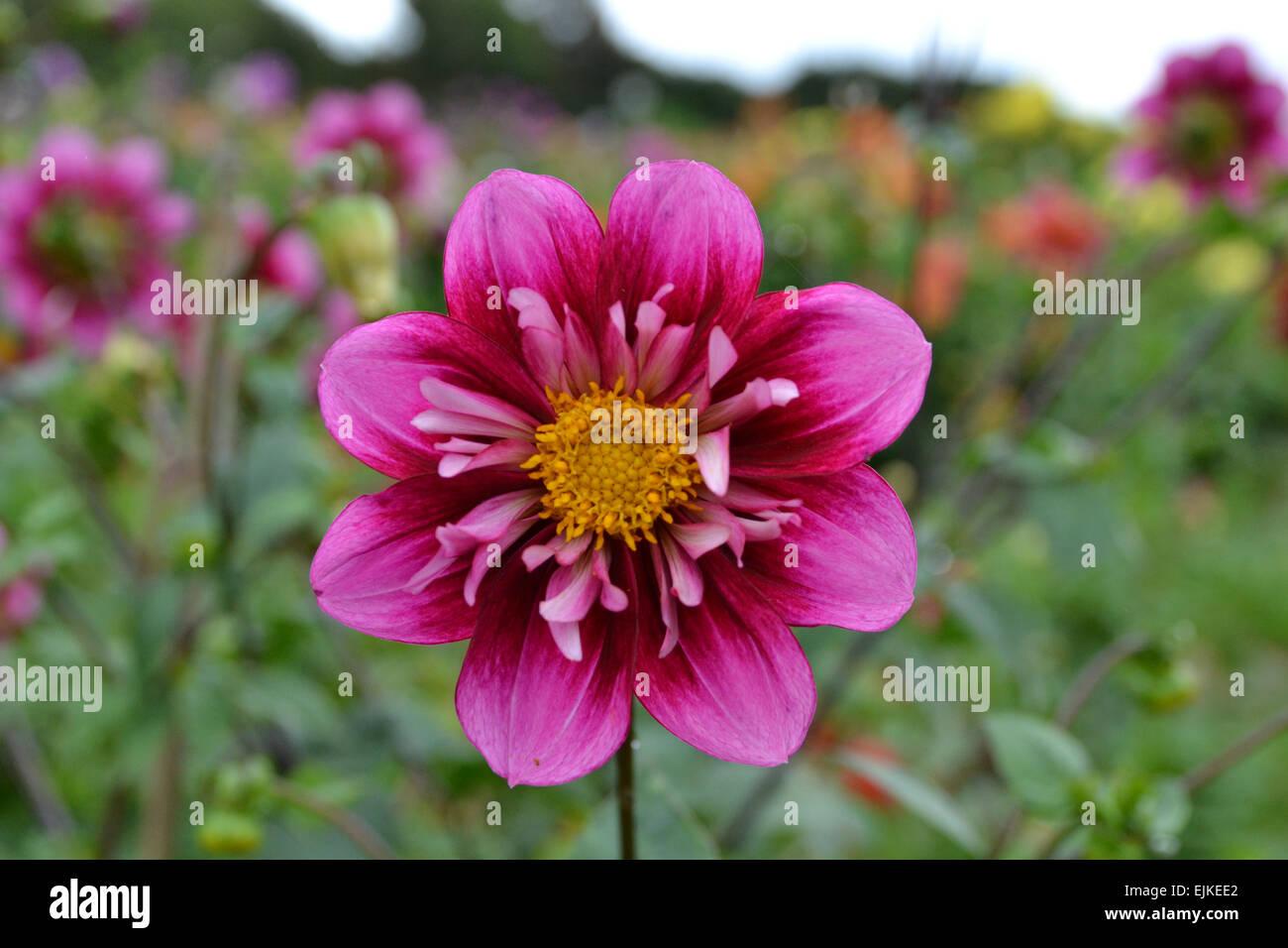 Close up of purple collerette Dahlia - Stock Image