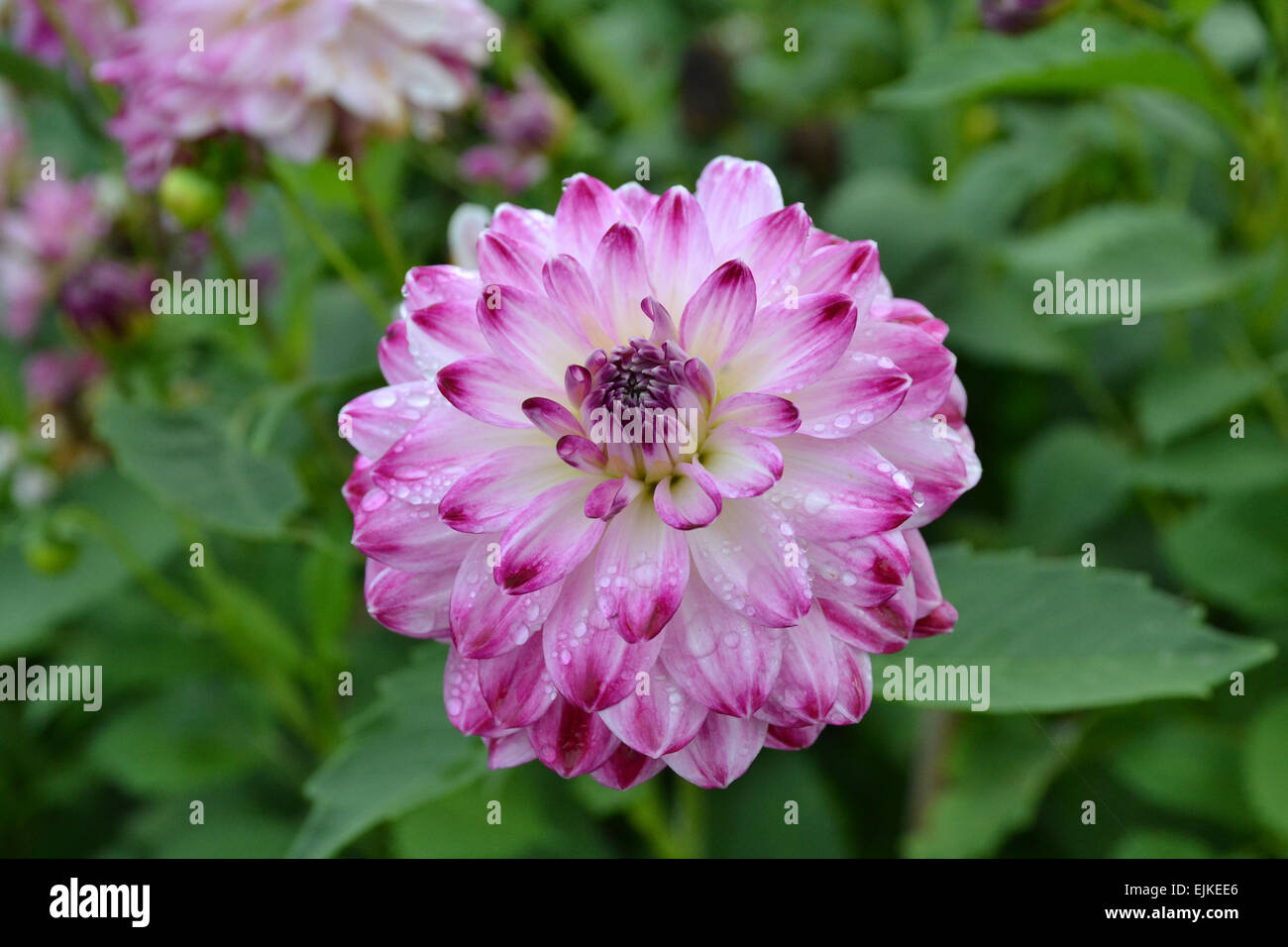 Dahlia Royal Visit - Stock Image
