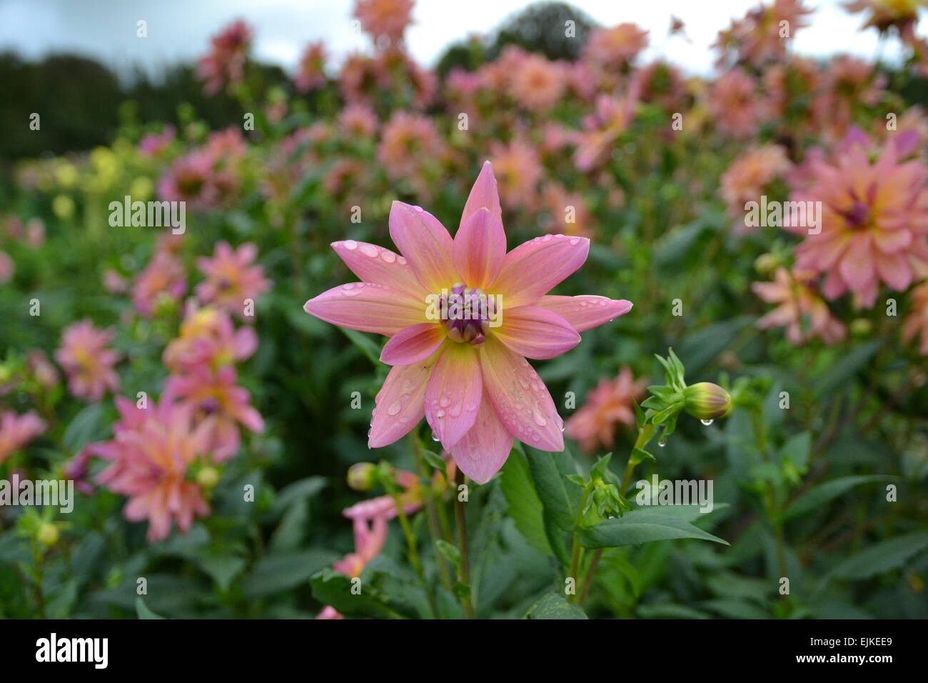 Pink Dahlia flower vareity 'yelno enchantment'  against a field of more plants - Stock Image