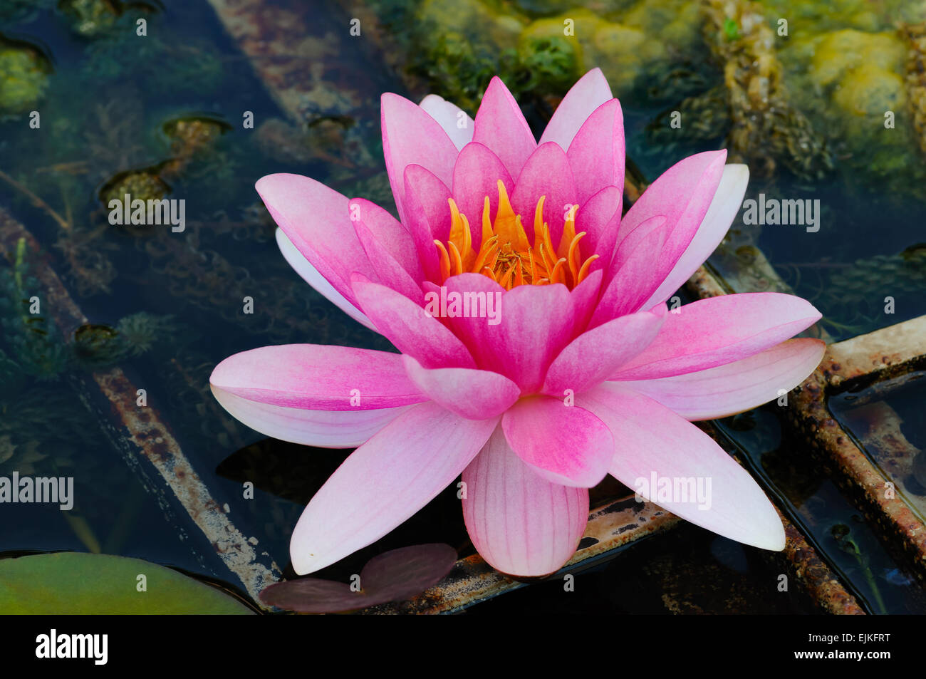 Lotus Flower Indian Water Lily In A Pond Stock Photo 80334796 Alamy