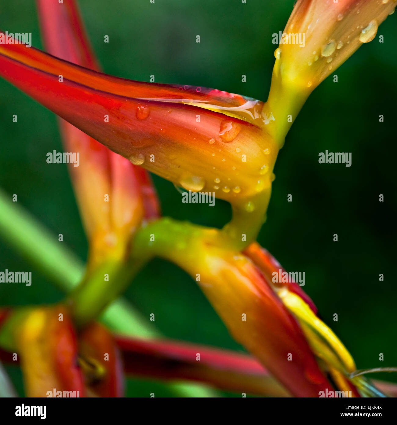 Helicon Bentham beautiful color tropical flower after rain - Stock Image