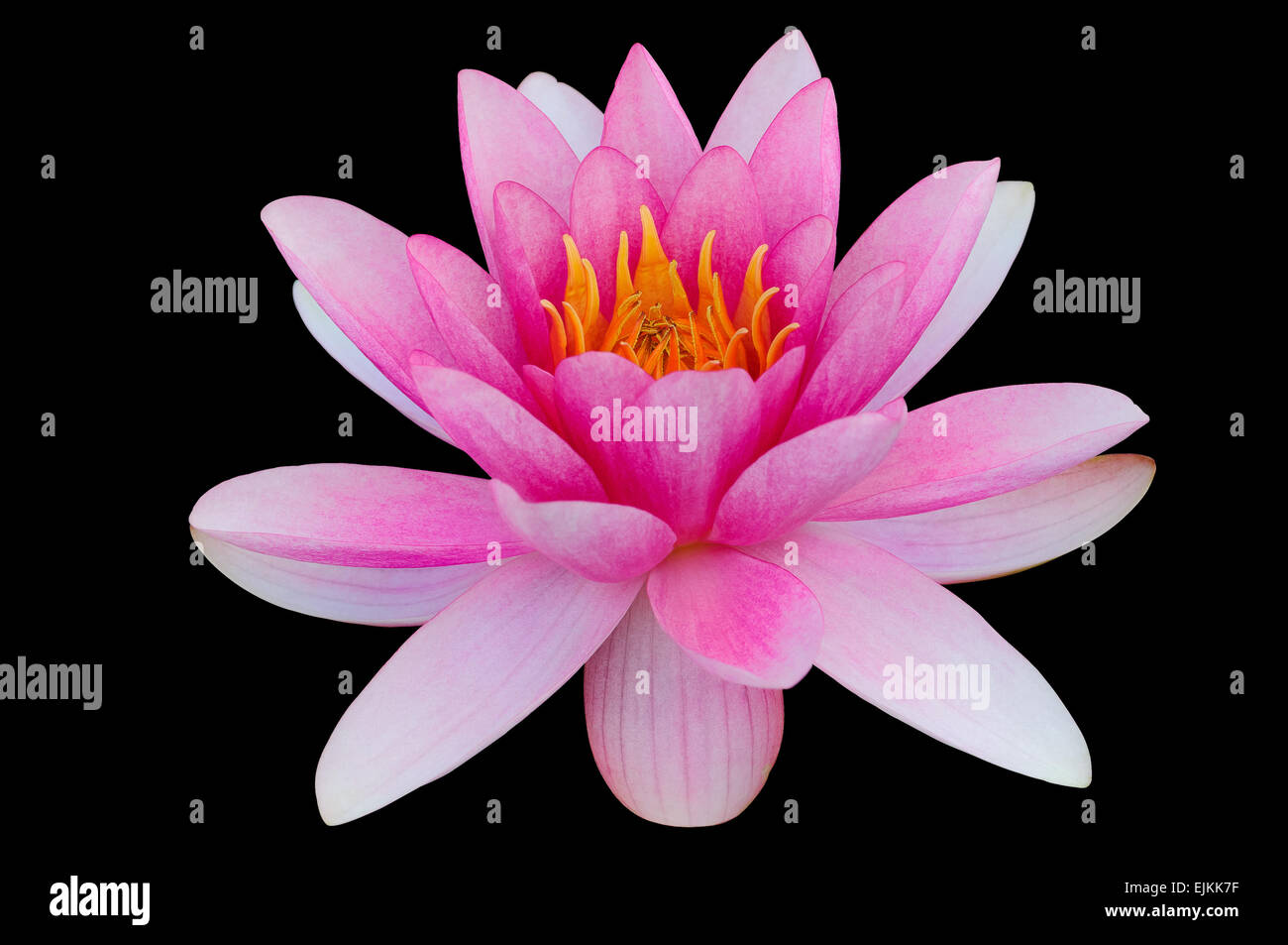 Pink water lily black background clip art clipping path - Stock Image