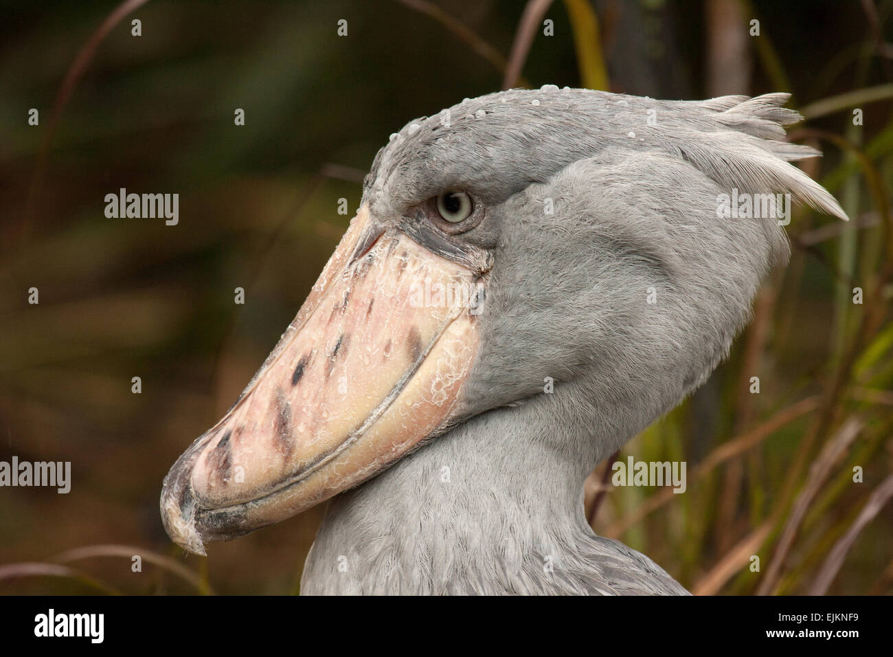 shoebill balaeniceps rex huge bird stock photos shoebill