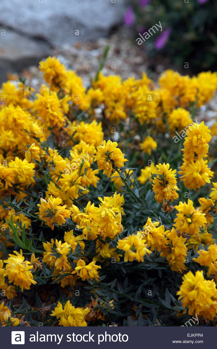 July Summer Low Rockery Perennial Yellow Pea Flower Shrub Stock